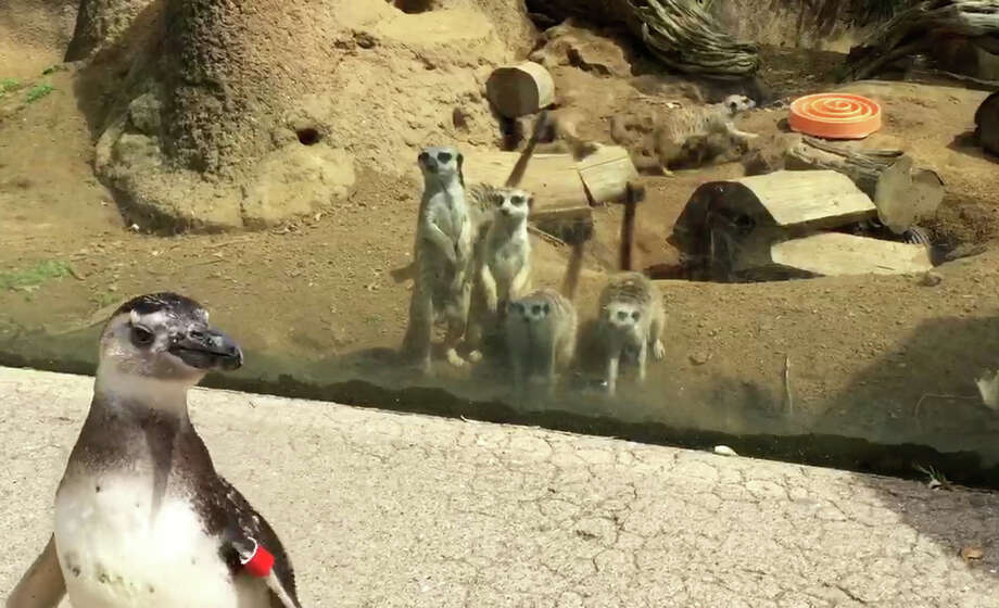 The San Francisco Zoo is allowing some of their Magellanic penguins to roam from exhibit to exhibit as a way of providing them with additional opportunities for enrichment and socialization. Photo: The San Francisco Zoo