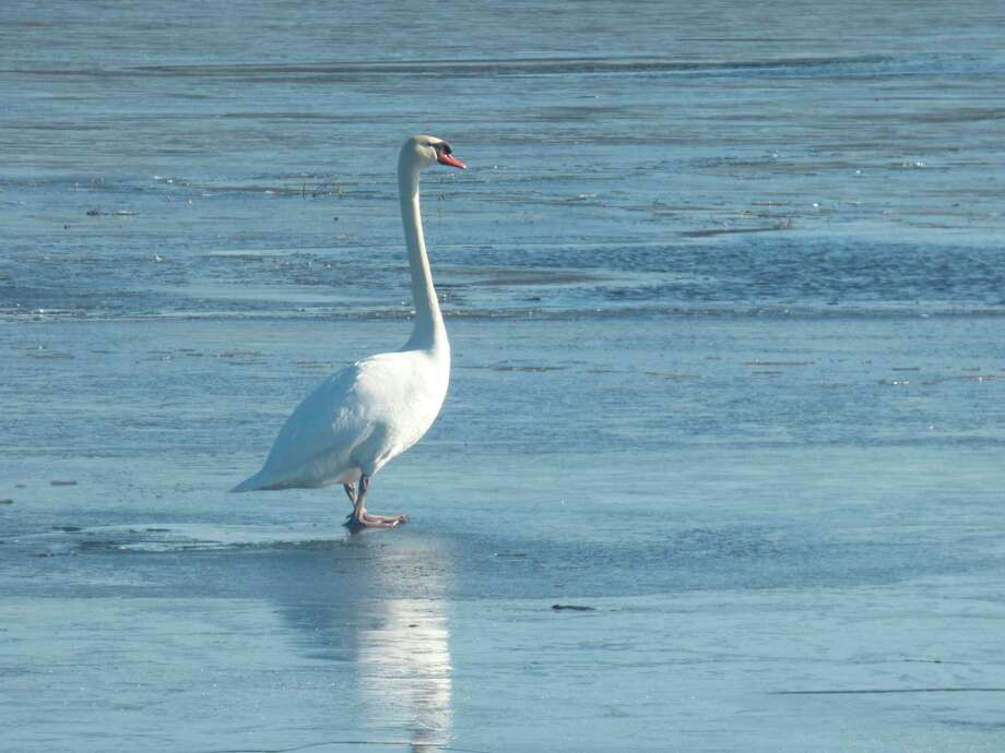 Waterfowl like this swan have returned to the area's many waterways. (Scott Fraley/News Advocate)