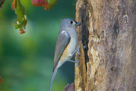 Tufted titmouse gives a sharp, staccato beep-beep-beep call this spring. The monogamous pair build their nest in abandoned woodpecker tree-cavities and in nest boxes.