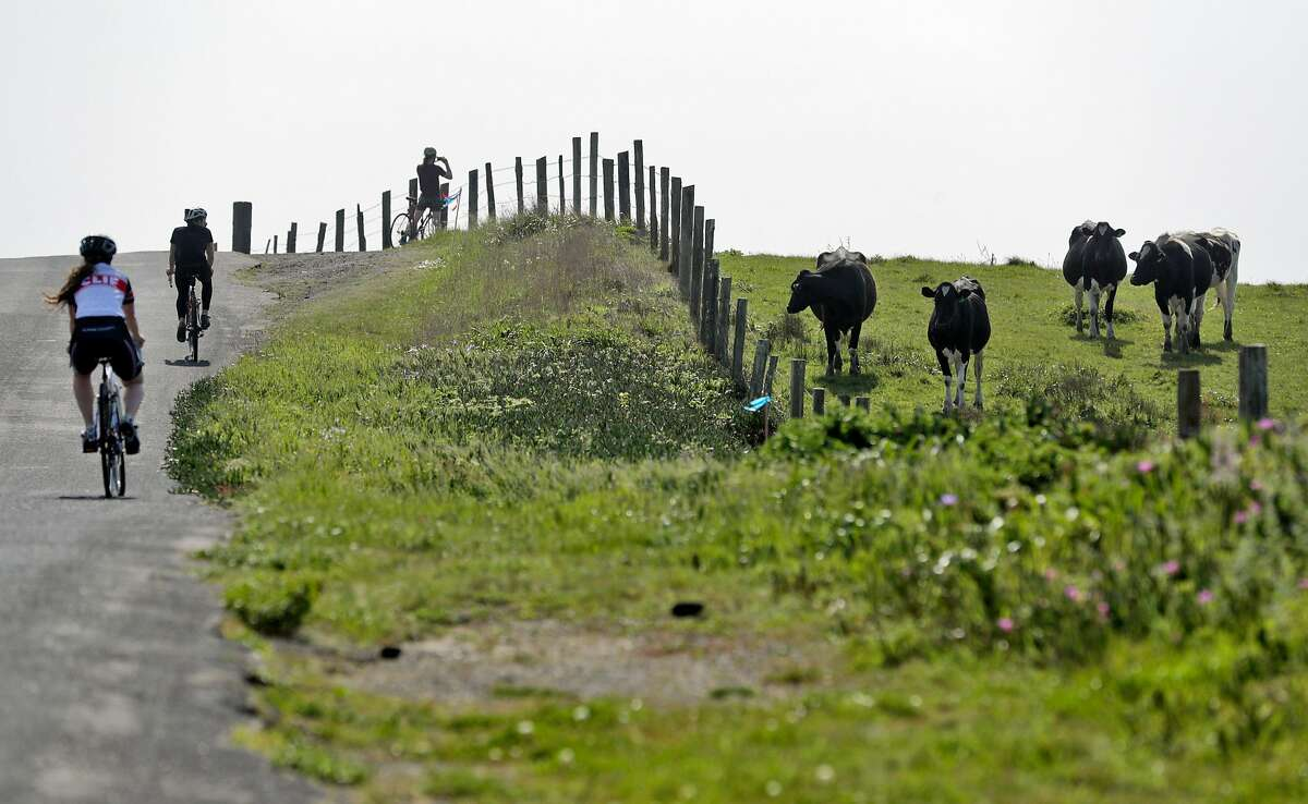 Bicyclists ride along Sir Francis Drake Blvd. near some cattle on ranchland at the Point Reyes National Seashore near Point Reyes Station, Calif., on Sunday, April 12, 2020. The Resource Renewal Institute is releasing a report that shows 90 percent of the people who commented on a plan to increase farming and cull elk in the Point Reyes National Seashore oppose the plan and favor the elk. The vast majority would actually like to have ranching eliminated and give the elk free reign, according to the study.