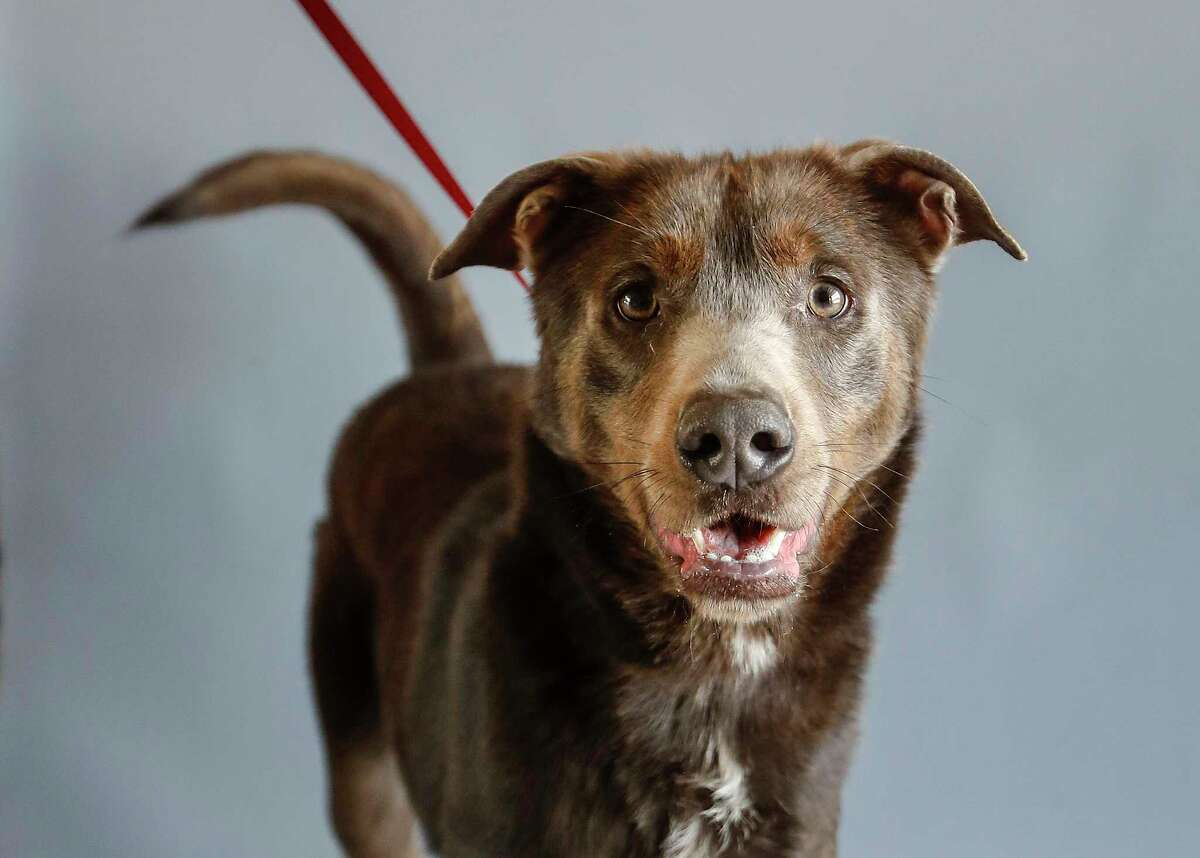 Wylie (9066) is an adult male, Shepherd/Weimaraner mix available for adoption from the Alvin Animal Adoption Center, in Alvin, Wednesday, April 15, 2020. Wylie was brought to the shelter as a stray 426 days ago. He is a gorgeous boy who likes treats and attention.