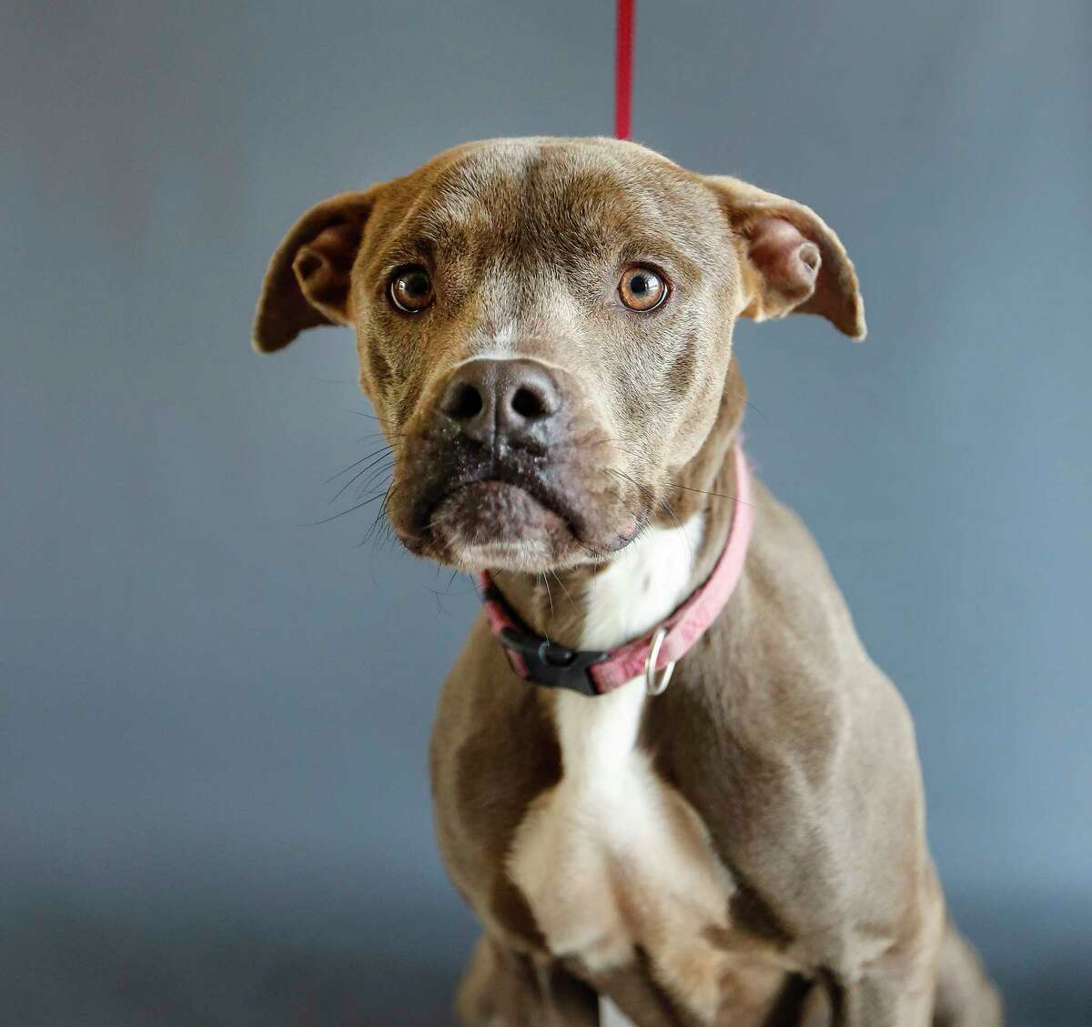 Oaklynn (8891) is an adult, female, Pit Bull mix available for adoption from the Alvin Animal Adoption Center, in Alvin, Wednesday, April 15, 2020. Oaklynn was brought into the shelter as a stray over 456 days ago. She is a happy go-lucky, loves people and would be best in a home without cats or children.