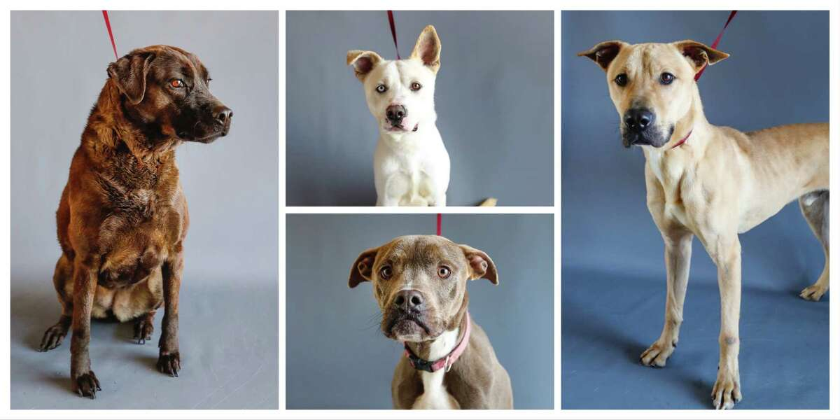 Emmie (left: 5048) is an adult female, Shepherd mix; Froggy (top: 10792) is an adult male, Akita/Labrador retriever mix; Oaklynn (bottom: 8891) is an adult, female, Pit Bull mix; Dusty (10270) is an adult male, Black Mouth Cur/Labrador retriever mix are all available for adoption from the Alvin Animal Adoption Center, in Alvin,Wednesday, April 15, 2020.