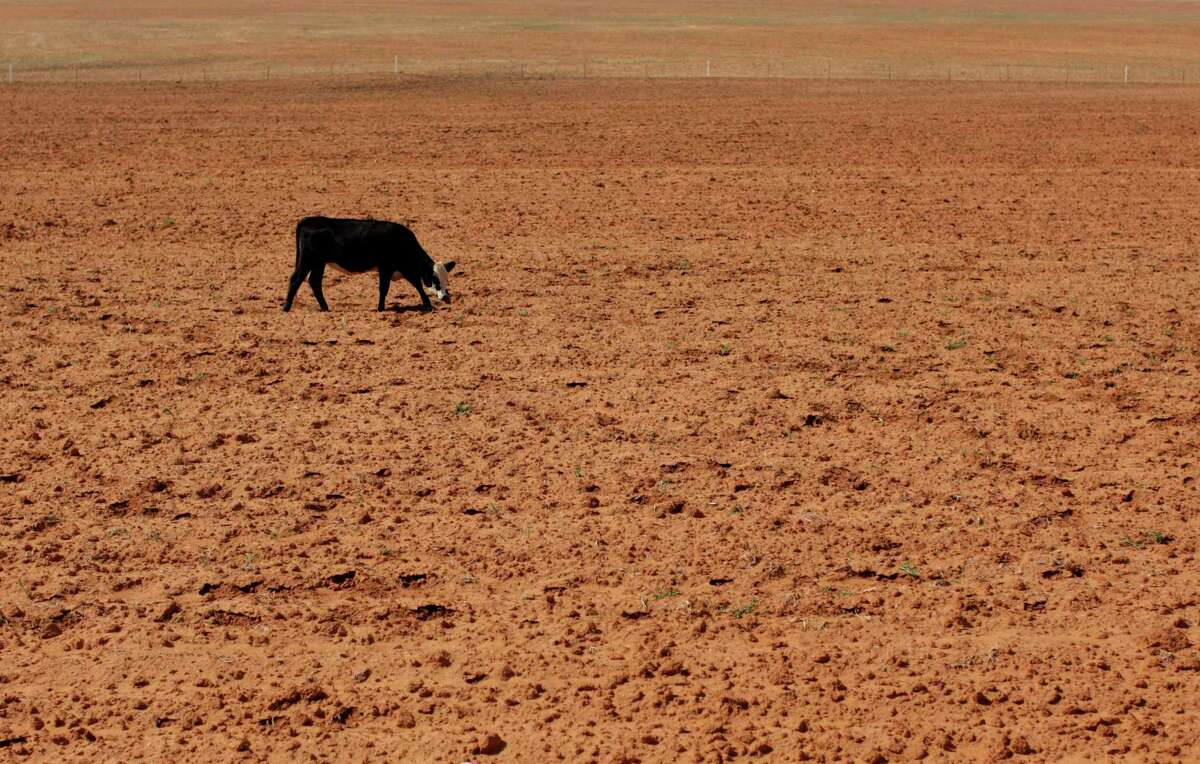 A cow grazes in a dry field near Westbrook in this 2011 photo. The American West is well on its way into one of the worst mega-droughts on record, a new study warns.