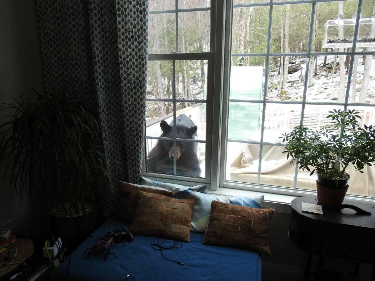A bear peaks into a home in Canton, Conn. April 2020. Black bears that access and consume human-associated food (e.g. birdseed, trash, pet food) on a regular basis become habituated (comfortable around people) and food-conditioned (associate humans with food). As the bear population continues to grow and expand its range, and bears become increasingly food conditioned, conflicts with humans will continue to increase, and food-conditioned bears pose a greater risk to public safety and often cause more property damage to houses, cars, pets, and livestock.
