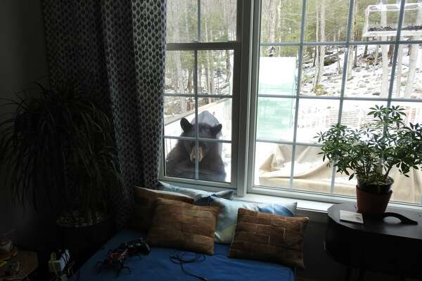 Animals at Home: A bear peaks into a home in Canton, Conn. April 2020.