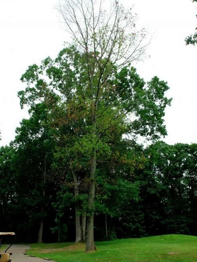 An oak with symptoms of oak wilt. (Courtesy photo/Monique Sakalidis/MSU)