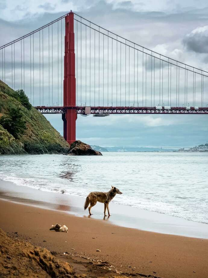 A coyote looks over the water during a visit to a mostly deserted Kirby Cove on the Marin County side of the Golden Gate Bridge. Photographer Scott Oller captured the moment on April 9, 2020.. (Photo courtesy of Scott Oller.) Photo: Scott Oller/Special To SFGATE