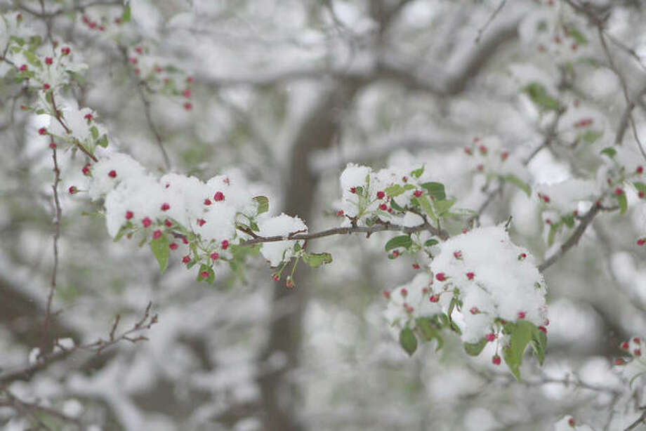 Springtime blooms on a tree provide an interesting juxtaposition Thursday as snow starts to obscure them. Photo: Carol Link | Reader Photo