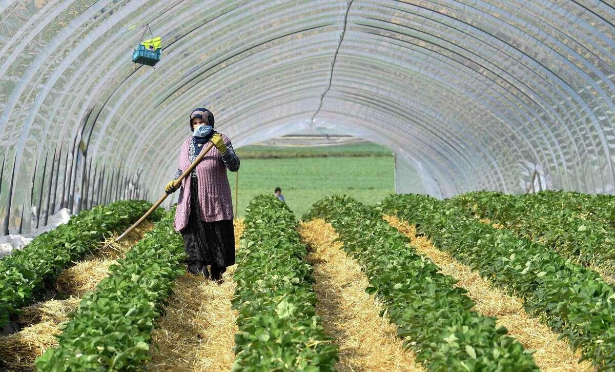 A local seasonal worker works in a strawberry field.