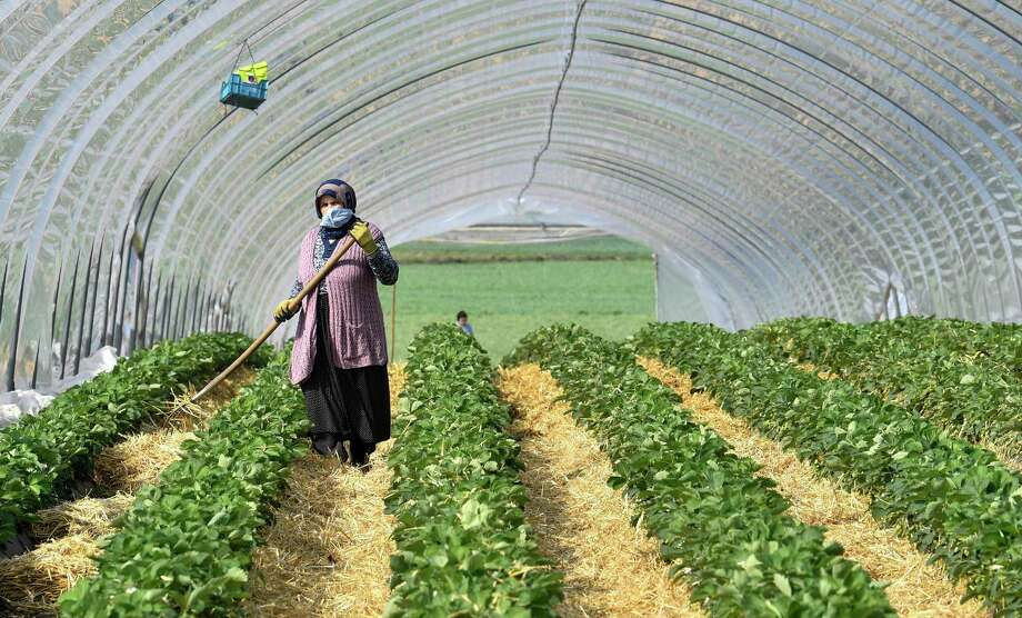 A local seasonal worker works in a strawberry field. Photo: Associated Press / Copyright 2020 The Associated Press. All rights reserved.