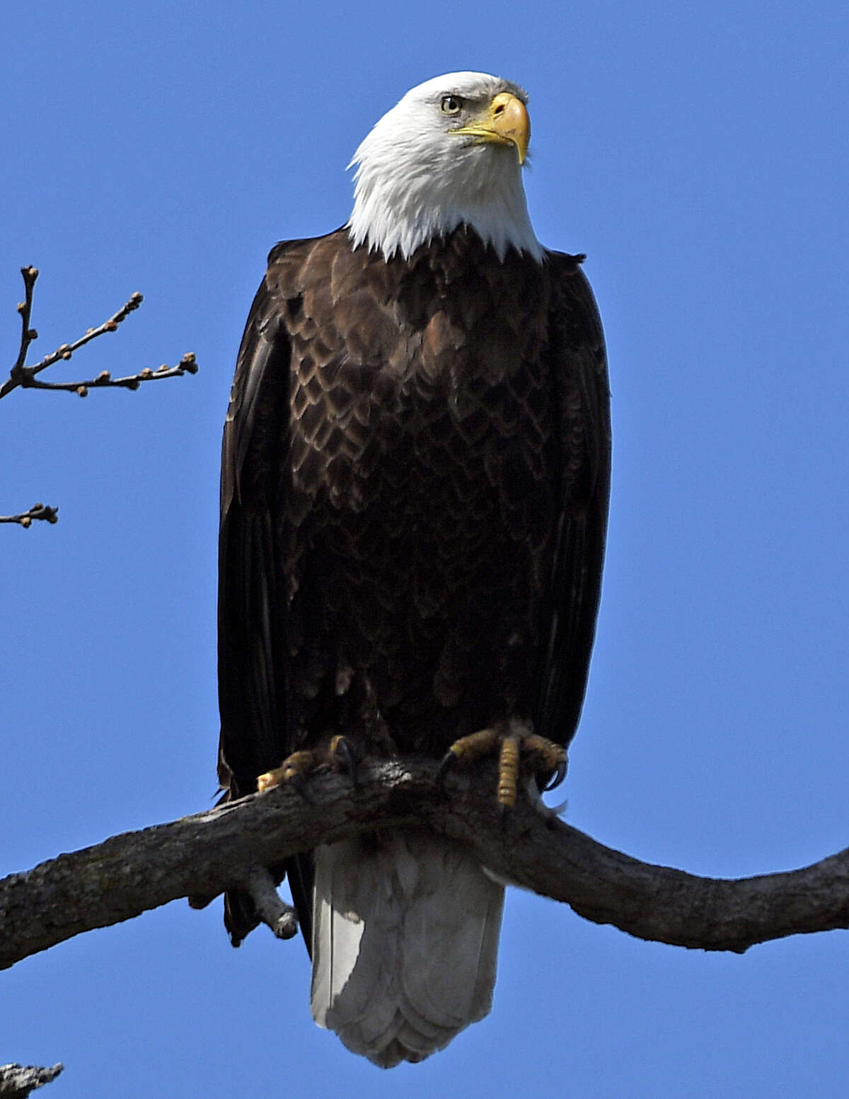 An eagle near its nest on an otherwise empty golf course along the Mohawk River in Saratoga County on Thursday, April 16, 2020. (Joyce Bassett / Special to the Times Union)