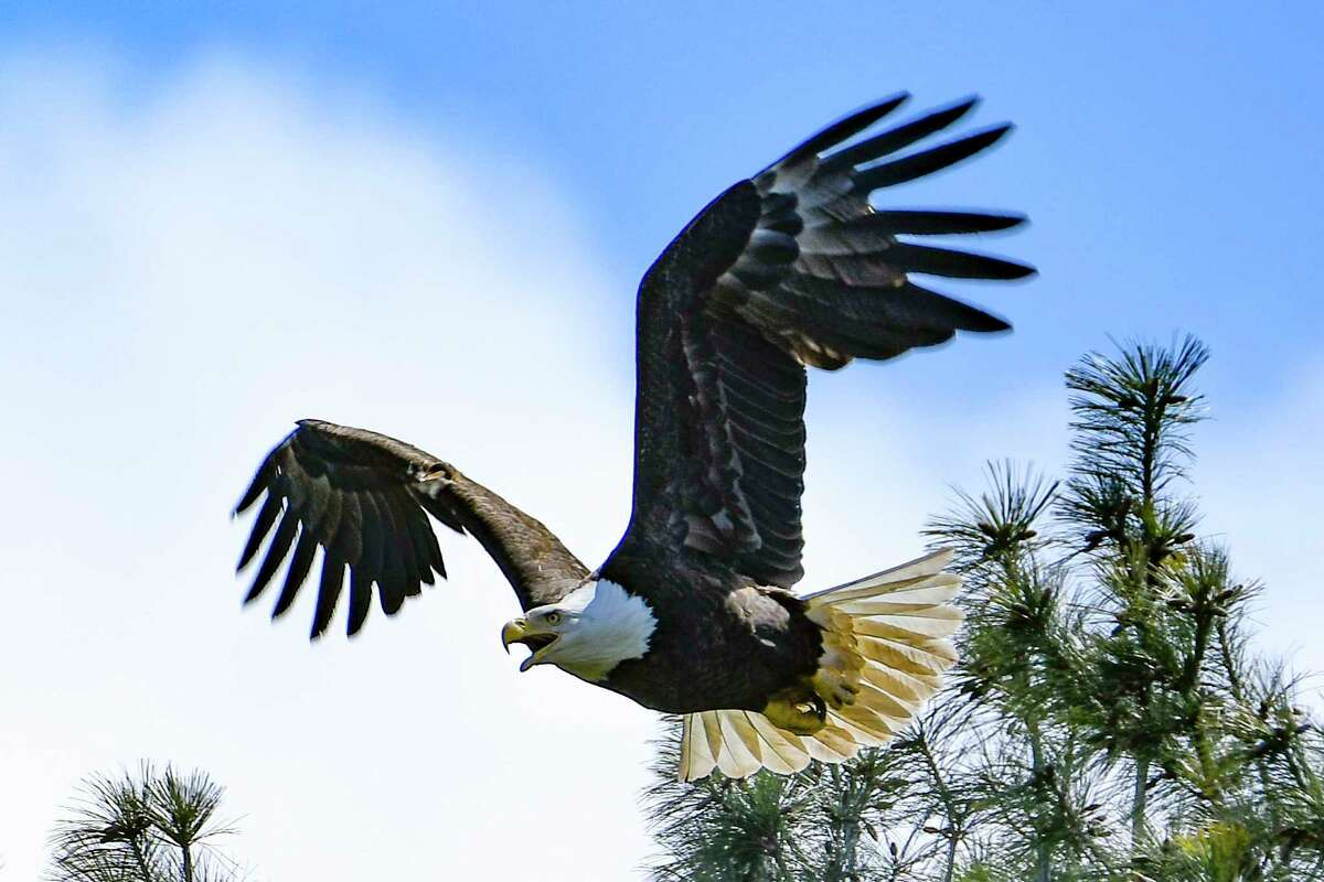 An eagle leaves its nest on a golf course near the Mohawk River in Saratoga County on Thursday, April 16, 2020. (Joyce Bassett / Special to the Times Union)