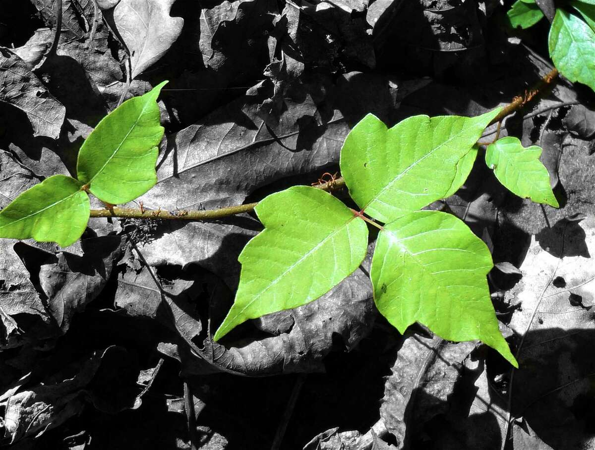 Poison ivy (Toxicodendron radicans) is one of the most troublesome plants encountered in the Texas landscape. On the other hand, the small fruit from poison ivy are known to provide food for at least 75 species of birds.