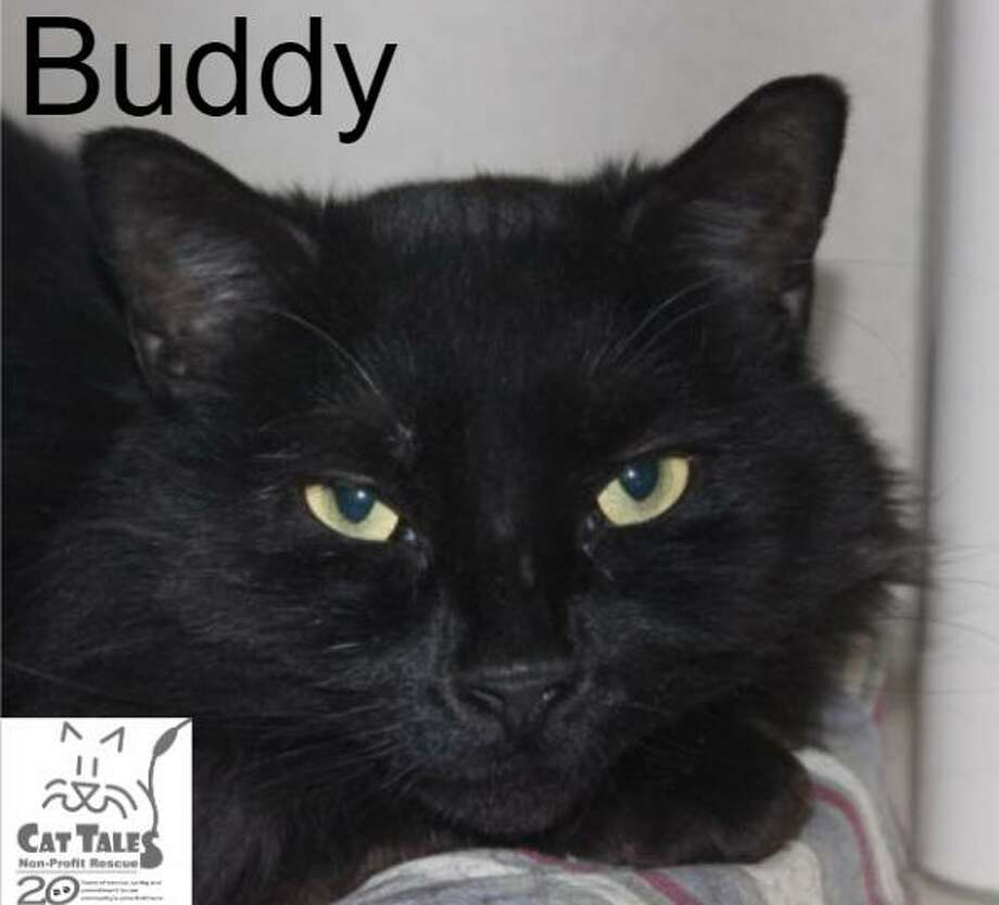 """Buddy is a black male, about a year old. He says,""""Hi, My name is Buddy and I'm a very handsome and talkative fellow who was found as a stray. Now that I'm safe at Cat Tales, I've become a very affectionate young guy. I love to be petted, love all the attention that I receive and am so very playful. Sometimes I like to be held, but I'd need to be in the mood for that. Because I've been on my own until now, I would need a quiet home without children or other animals. Come to Cat Tales to meet me and you will see that I'm the right cat for you."""" Visit http://www.CatTalesCT.org/cats/Buddy, email info@CatTalesCT.org, or call 860-344-9043. Watch our TV commercial: https://youtu.be/Y1MECIS4mIc Photo: Contributed Photo"""