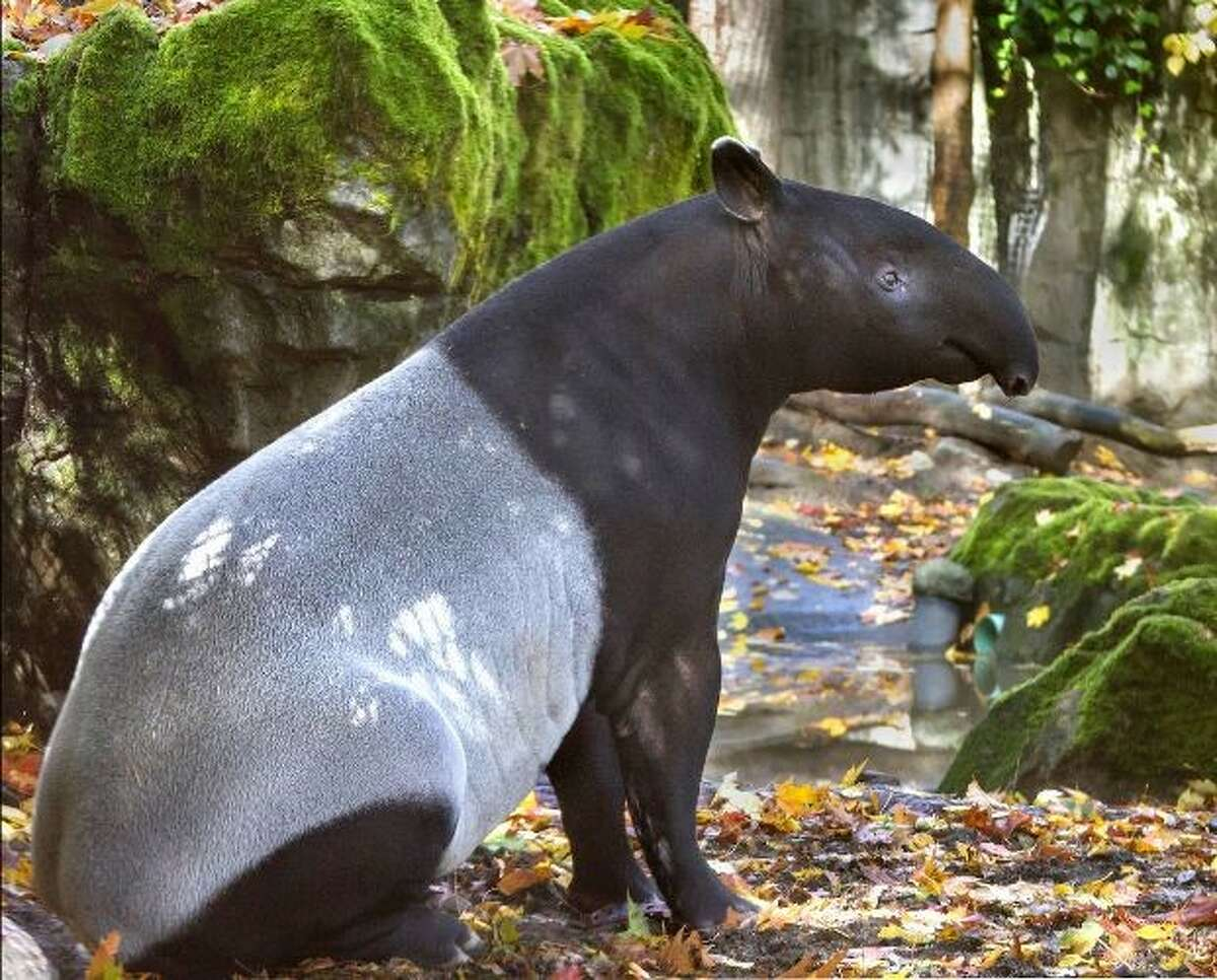 The birth window has opened for Ulan, a pregnant Malayan tapir at Woodland Park Zoo. The first-time expectant mom is due to give birth between April and June.