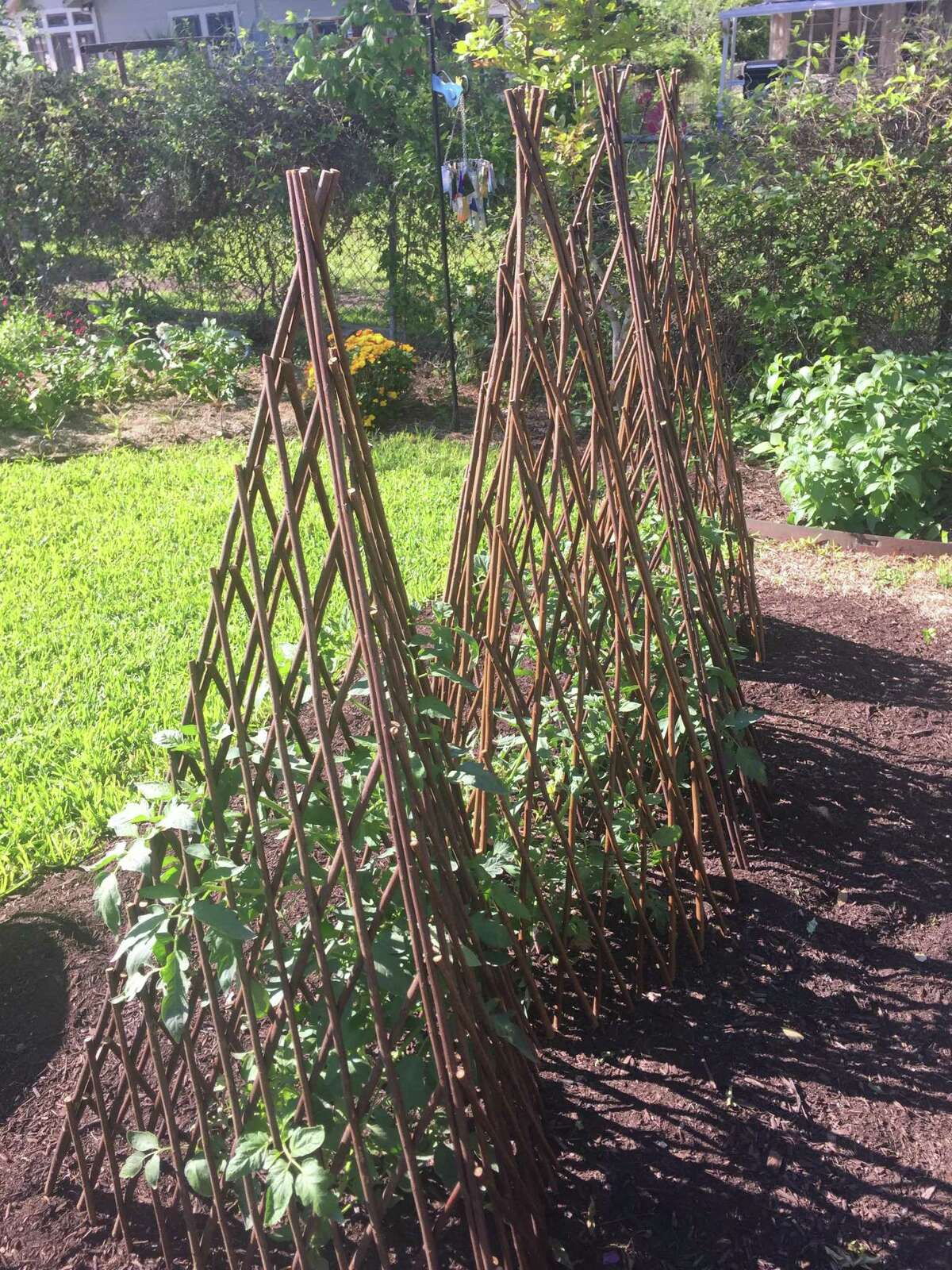 Caged tomatoes grow in Tot Albrio's garden. The high school history teacher says she's had a lot more time to work in it while the stay-at-home edict is in effect. She says gardening is good therapy.