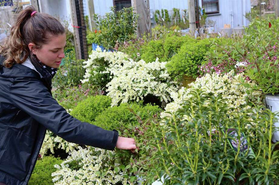 Casey Palmer of Outdoor Design & Living tends to the garden on Saturday, April 18, 2020, in Fairfield, Conn. Photo: Jarret Liotta / Jarret Liotta / ©Jarret Liotta 2020