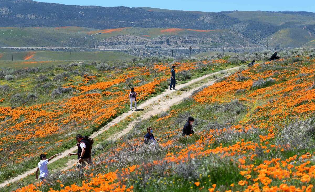 People visit poppy fields near the Antelope Valley California Poppy Reserve on April 16, 2020 in Lancaster, California where the annual spring bloom is underway. - This year's bloom is being live-streamed as park grounds remain closed since late March due to the coronavirus pandemic. (Photo by Frederic J. BROWN / AFP) (Photo by FREDERIC J. BROWN/AFP via Getty Images)