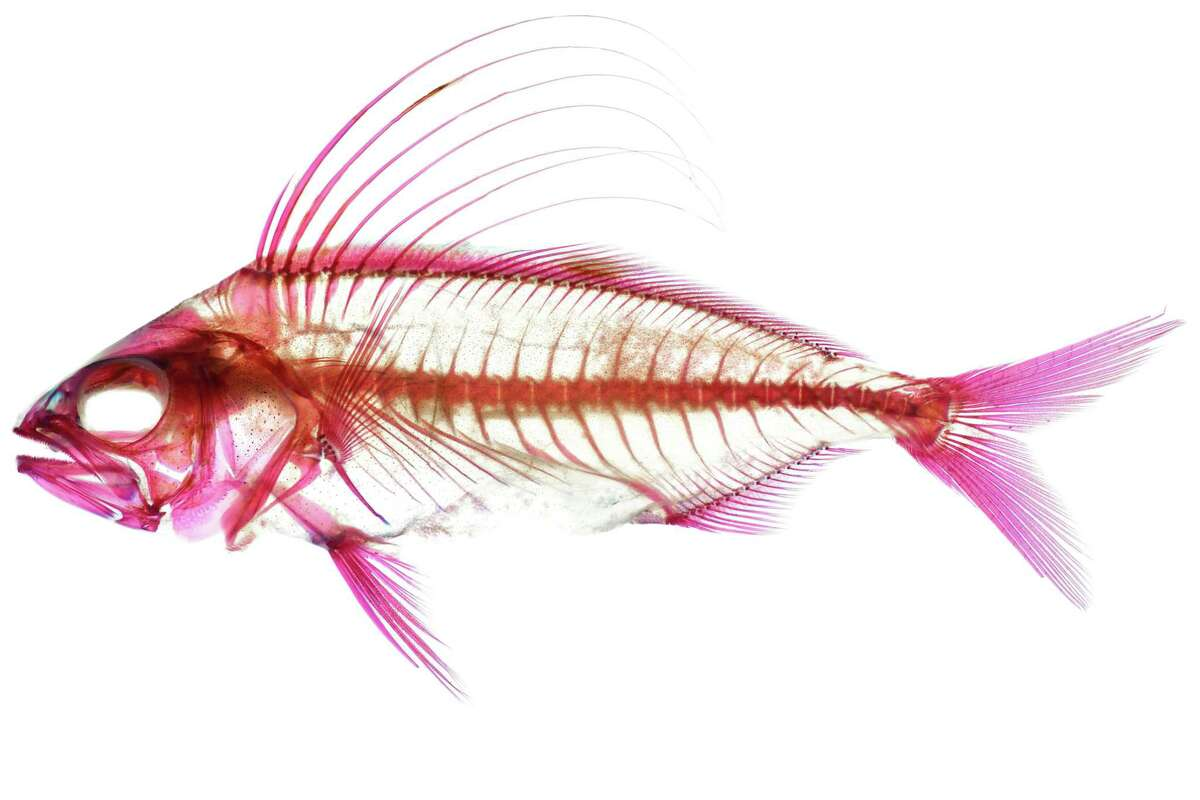 Roosterfish, cleared and stained specimen. Image courtesy of Dr. Matthew Girard.