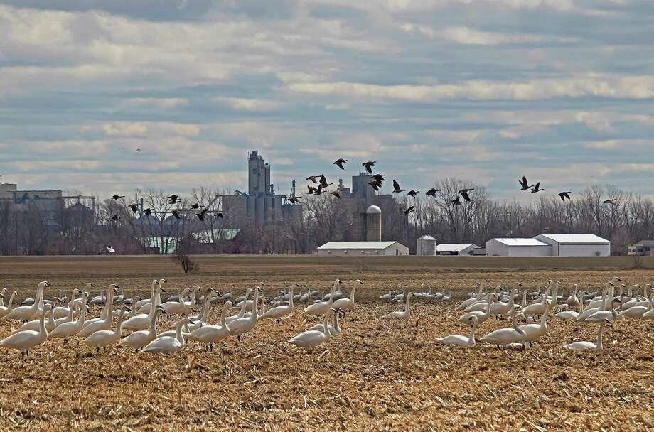 A sure sign of spring is the annual bird migration. This field near Pigeon was busy recently with Tundra swans and Canada geese. (Bill Diller/For the Tribune)