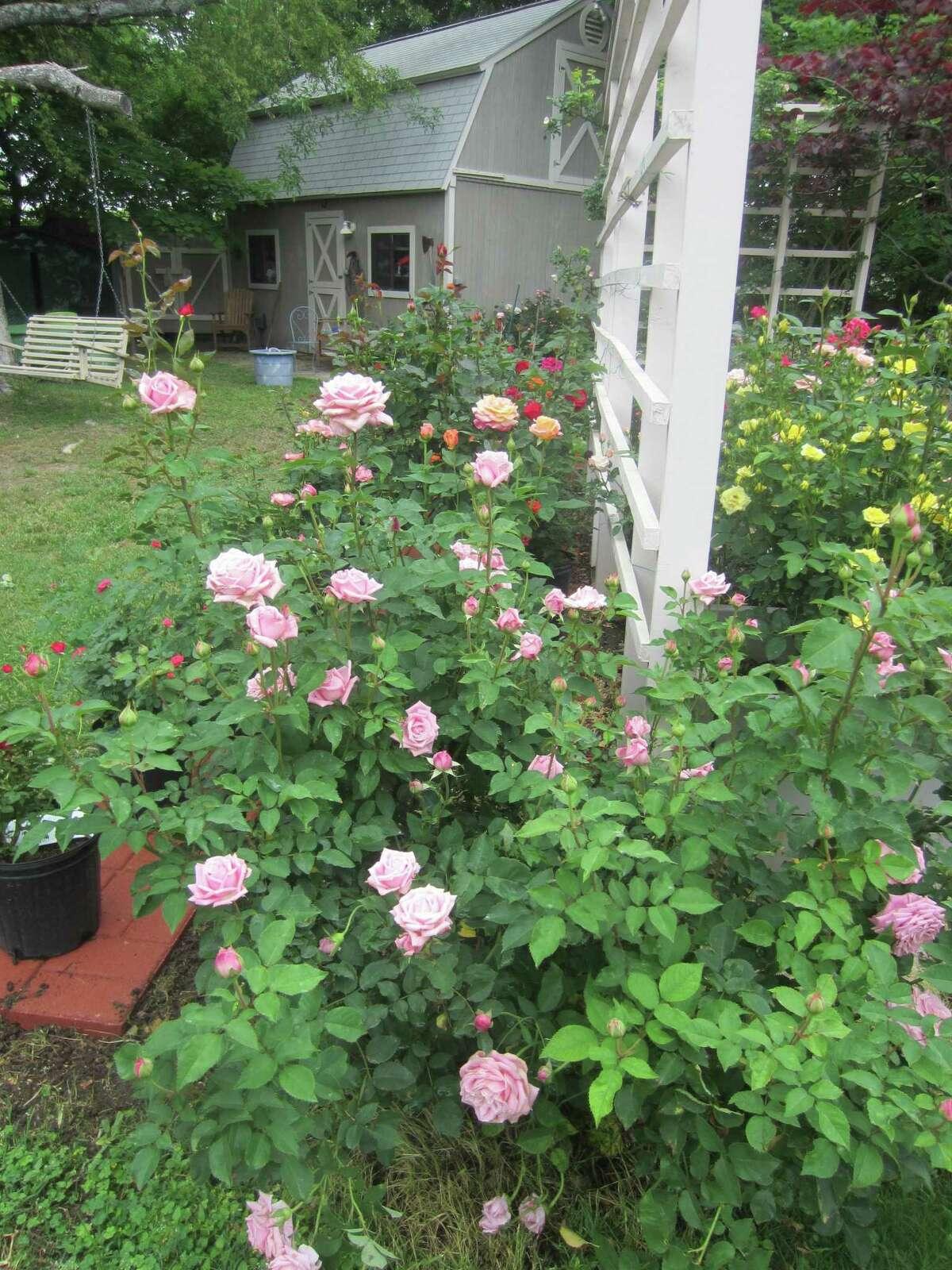 Belinda's Dream is beautiful, hardy and easy to grow.