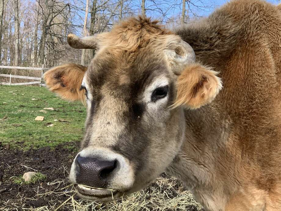 Farm animals from Lockets Meadow Farm in Bethany, Conn. are available for hire to make an appearance in virtual business meetings and happy hours. Photo: Kathleen Schurman