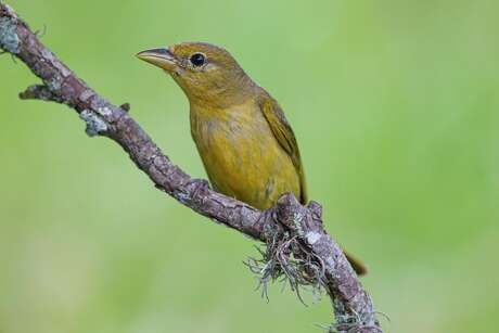 Female summer tanagers are the color of mustard with green tones in the wings. They breed in the area during spring and summer. Photo Credit: Kathy Adams Clark Restricted use.