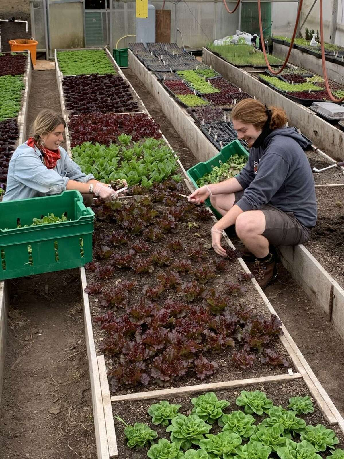 Taylor Matzke, left, and Dan Taylor harvest lettuce in the greenhouse at Millstone Farm on April 20. The salad greens are destined for Open Door Shelter.