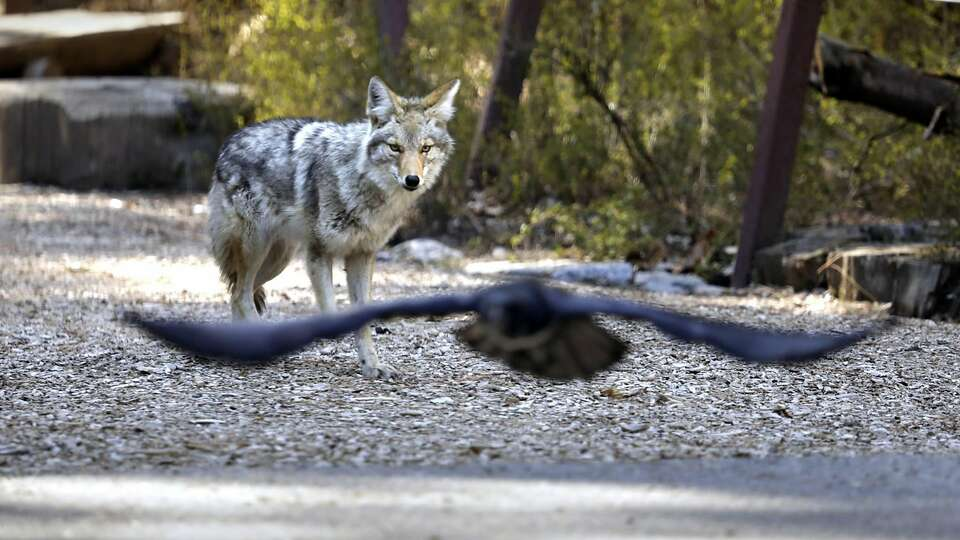 Wildlife adapted as people stayed at home. What happens when parks reopen?