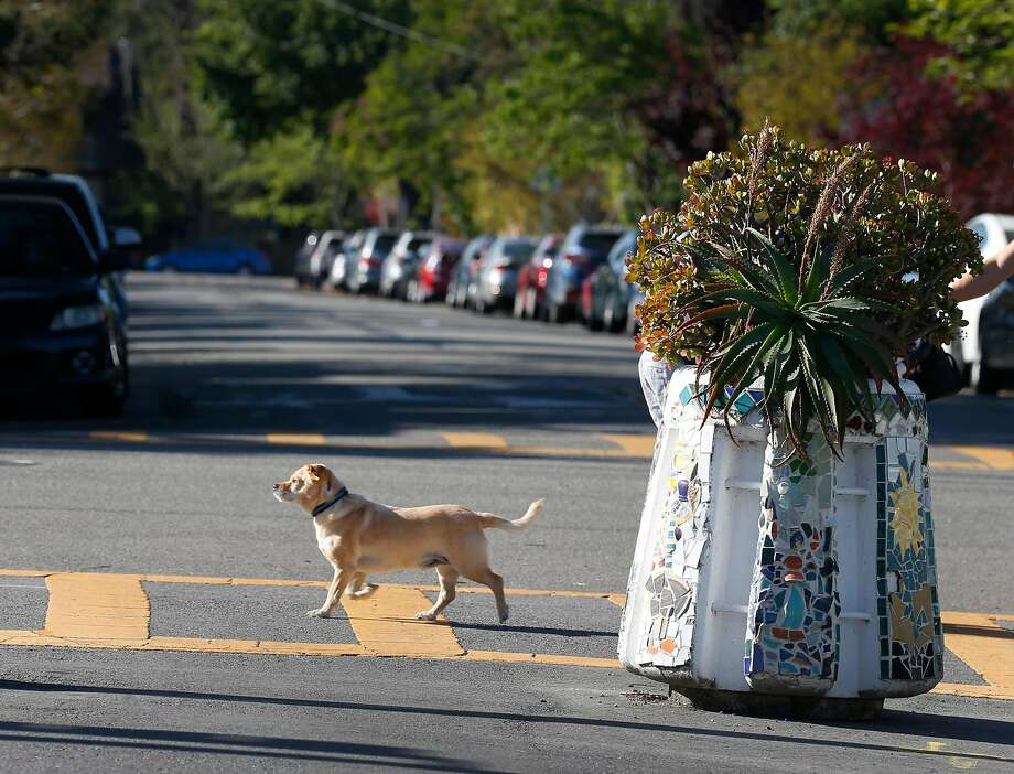 A dog sticks to the crosswalk as it wanders past a concrete barrier blocking traffic on Fulton Street at Ashby Avenue in Berkeley. Photo: Paul Chinn / The Chronicle