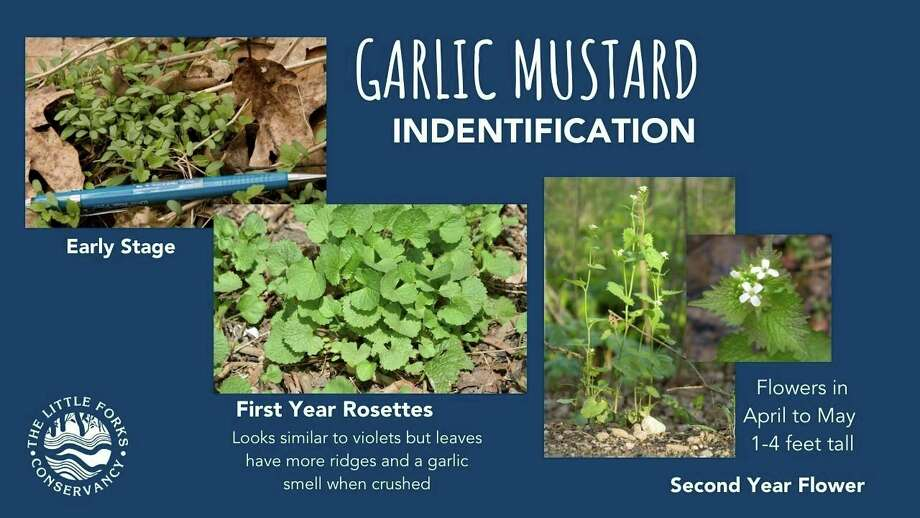 The Little Forks Conservancy is hosting a Stay Home Garlic Mustard Pull through May 31. (Photo provided)