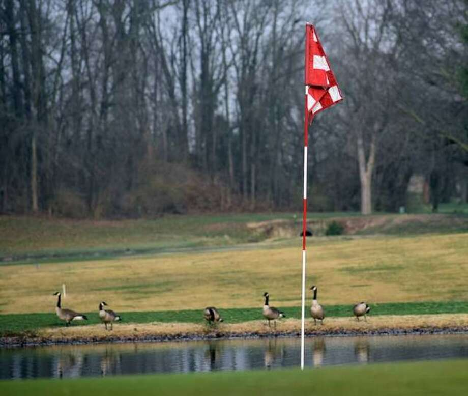 Geese sit in the background of the green on Hole No. 9 at Oak Brook Golf Club in Edwardsville. Photo: Matt Kamp|The Intelligencer