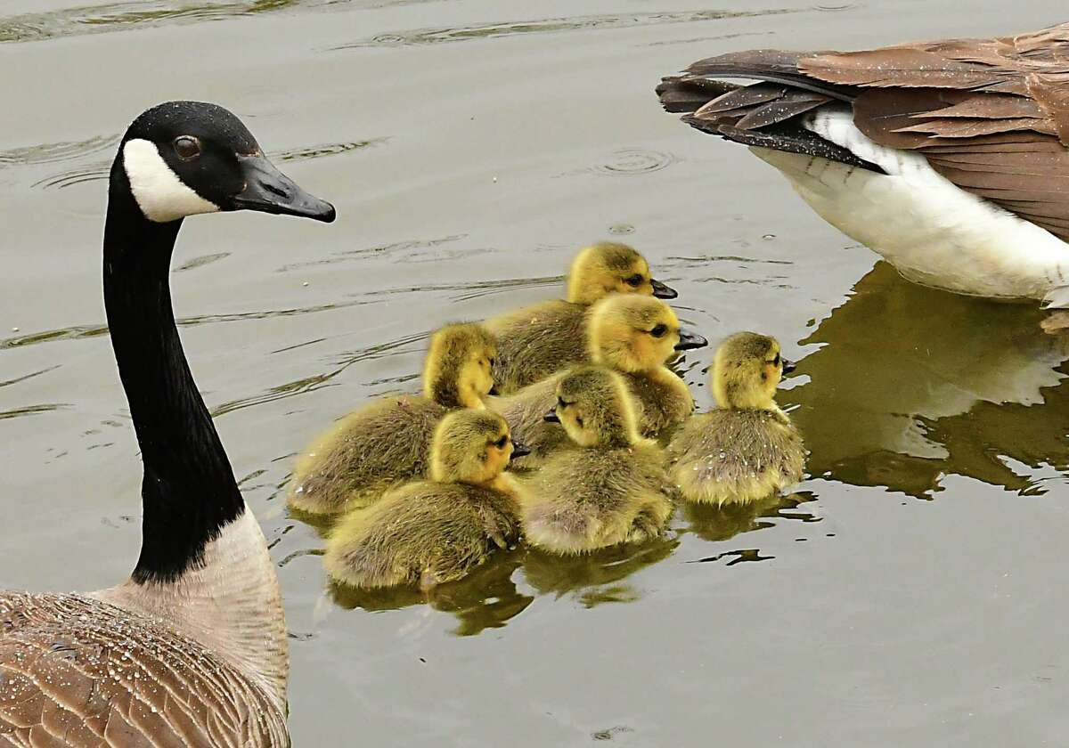 Geese are seen swimming with their goslings in a pond on Friday, April 24, 2020 in Albany, N.Y. (Lori Van Buren/Times Union)