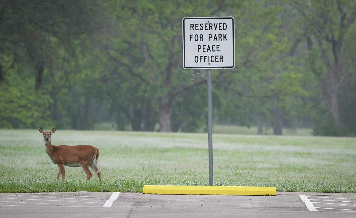 A deer paused to feed in Brazos Bend State Park after Gov. Greg Abbott signed an executive order to open state parks Monday. Houston's city parks are open as well, but city officials are limiting parking access.