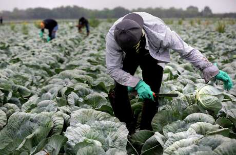 A migrant worker from Chiapas, Mexico, cuts cabbage in a field near Edinburg. Migrants makes up a large percentage of the farmworkers in the Rio Grande Valley, but they don't qualify for stimulus benefits and worry about the coronavirus pandemic.
