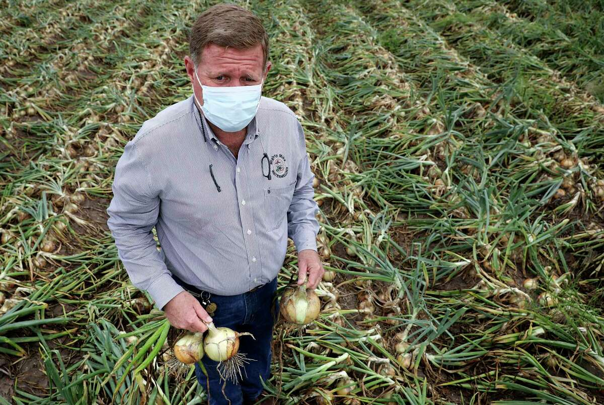 Mike Helle of Green Gold Farms in Edinburg inspects onions in a field that may not be harvested because of declining demand caused by the pandemic.