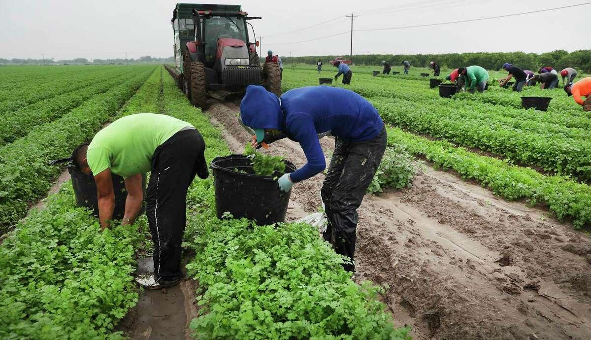 Migrant workers harvest cilantro in a field near Edinburg.