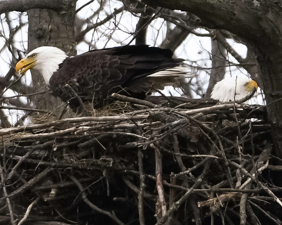A breeding pair of American Bald Eagles tend to the nest on an island across the river from Peebles Island State Park in Waterford on April 15, 2020. Nests are often about 6 feet wide and can be very deep, according to the American Eagle Foundation. Most pairs add sticks to the same nest and use them for many years. (Joyce Bassett / Special to the Times Union)