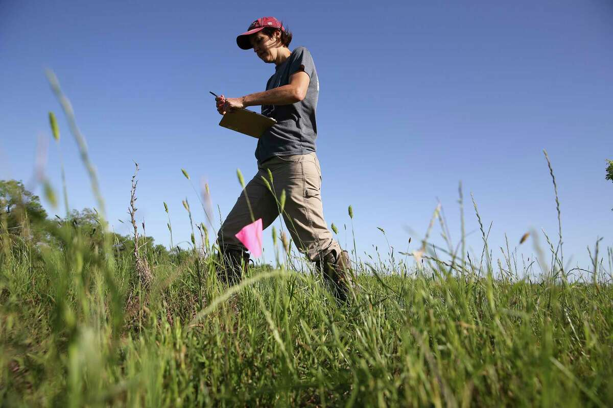 Jamie Killian, a UTSA grad student, has kicked off a two-year research project on Texas horned lizard habitat. Also called horny toads, they have declined in recent years and are considered threatened. On Thursday, she was searching for them on a ranch near Stockdale, part of a survey area of 10,000 acres in Wilson and Karnes counties she hopes will produce data to inform conservation strategies. Killian is also a full-time wildlife biologist for the Texas Parks and Wildlife Department.