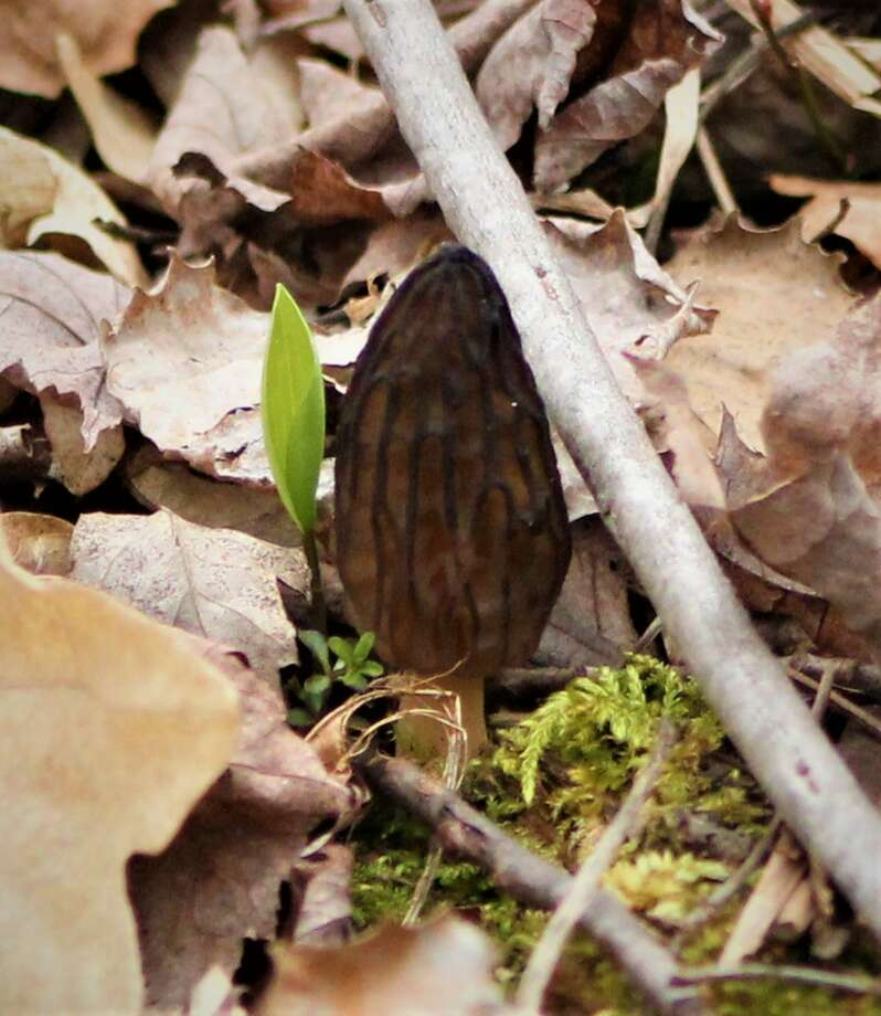 Morels are popping and trees are budding in the Thumb. Photo: Sara Eisinger/ Huron Daily Tribune