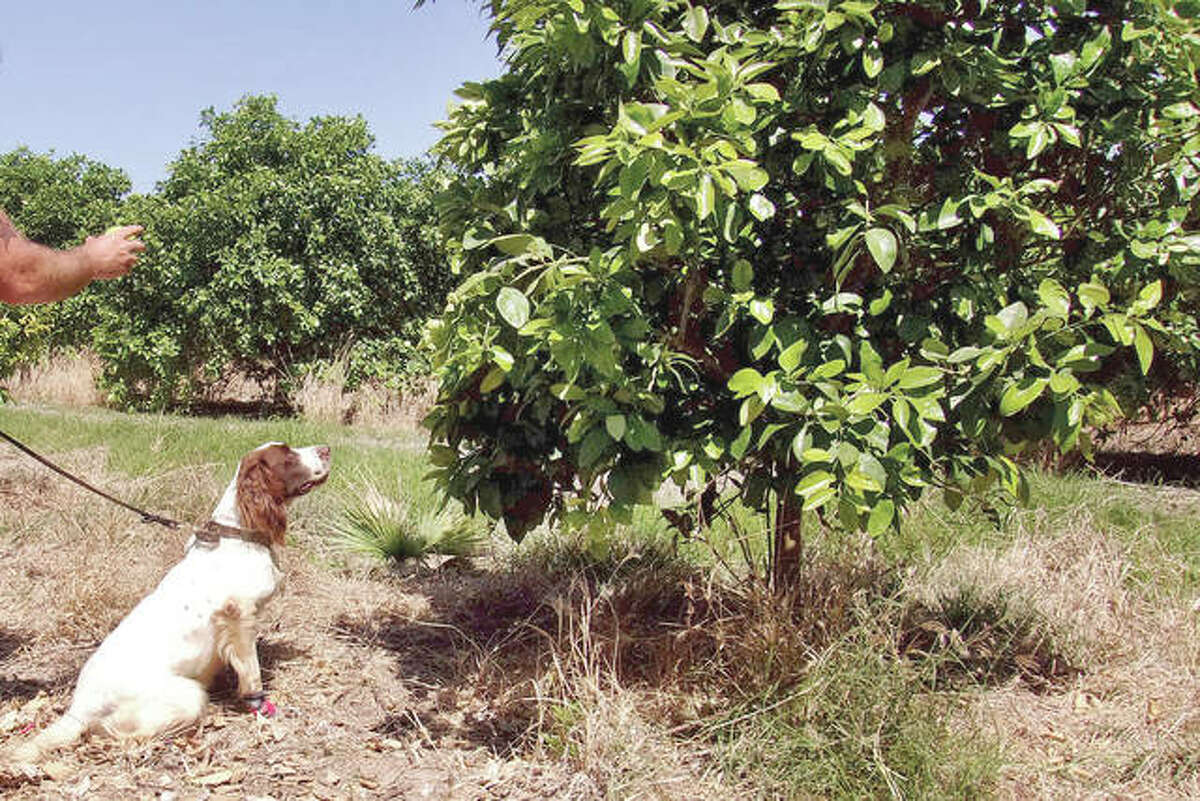 Detector canine Bello works in a citrus orchard, searching for citrus greening disease, a bacteria that is spread by a tiny insect that feeds on citrus trees.