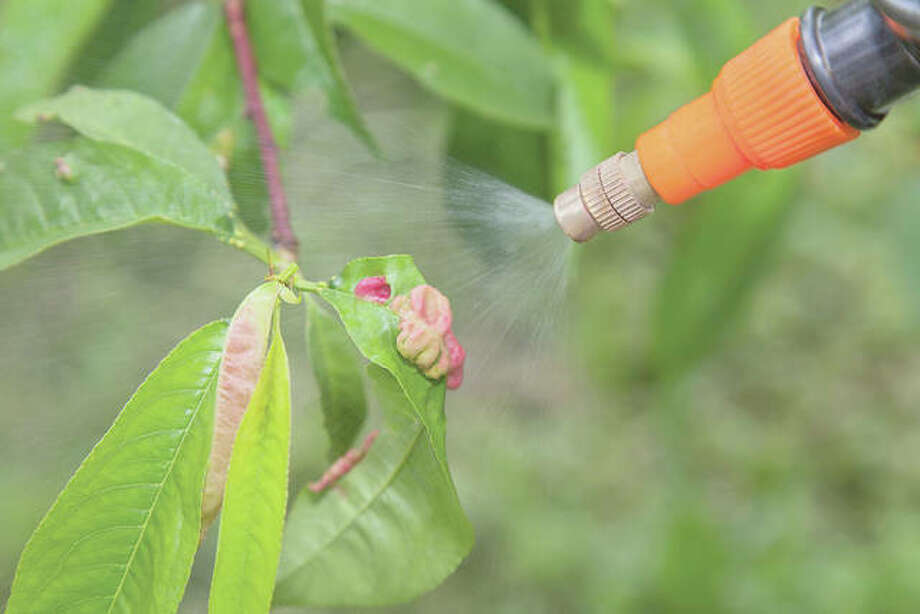 Using disease resistant cultivars is a good way to help manage plant disease. While all peach cultivars are, to some degree, susceptible to leaf curl, Redhaven and cultivars derived from Redhaven are more resistant. Photo: Getty Images