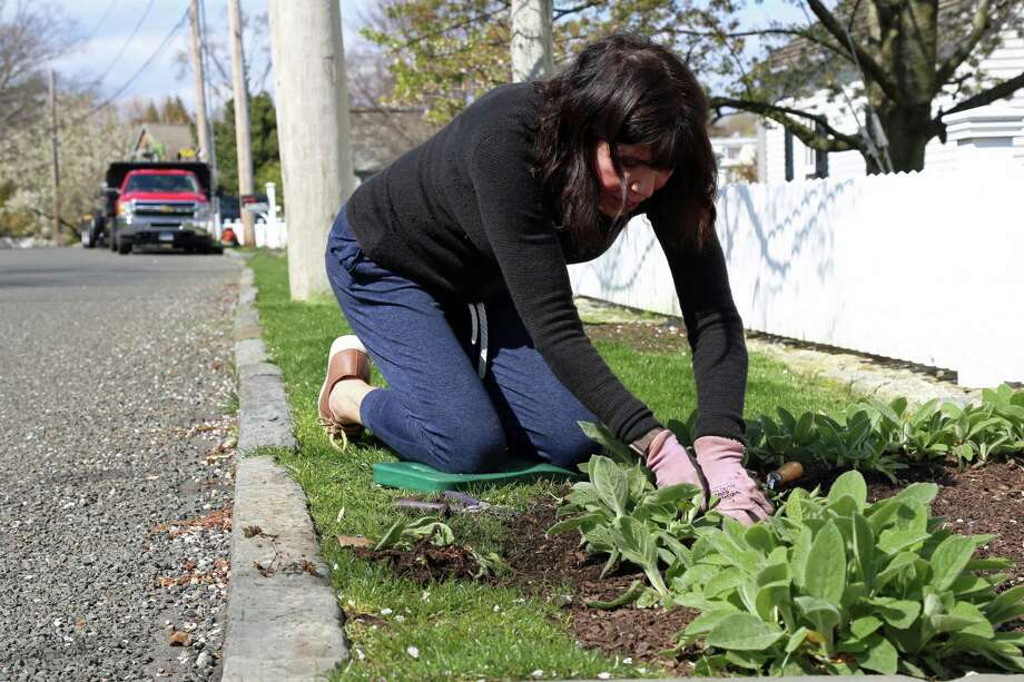 Ellen Levinson of Fairfield grapples with a plant that doesn't want to me relocated on Saturday, April 25, 2020, in Fairfield, Conn. Photo: Jarret Liotta / Jarret Liotta / ©Jarret Liotta 2020