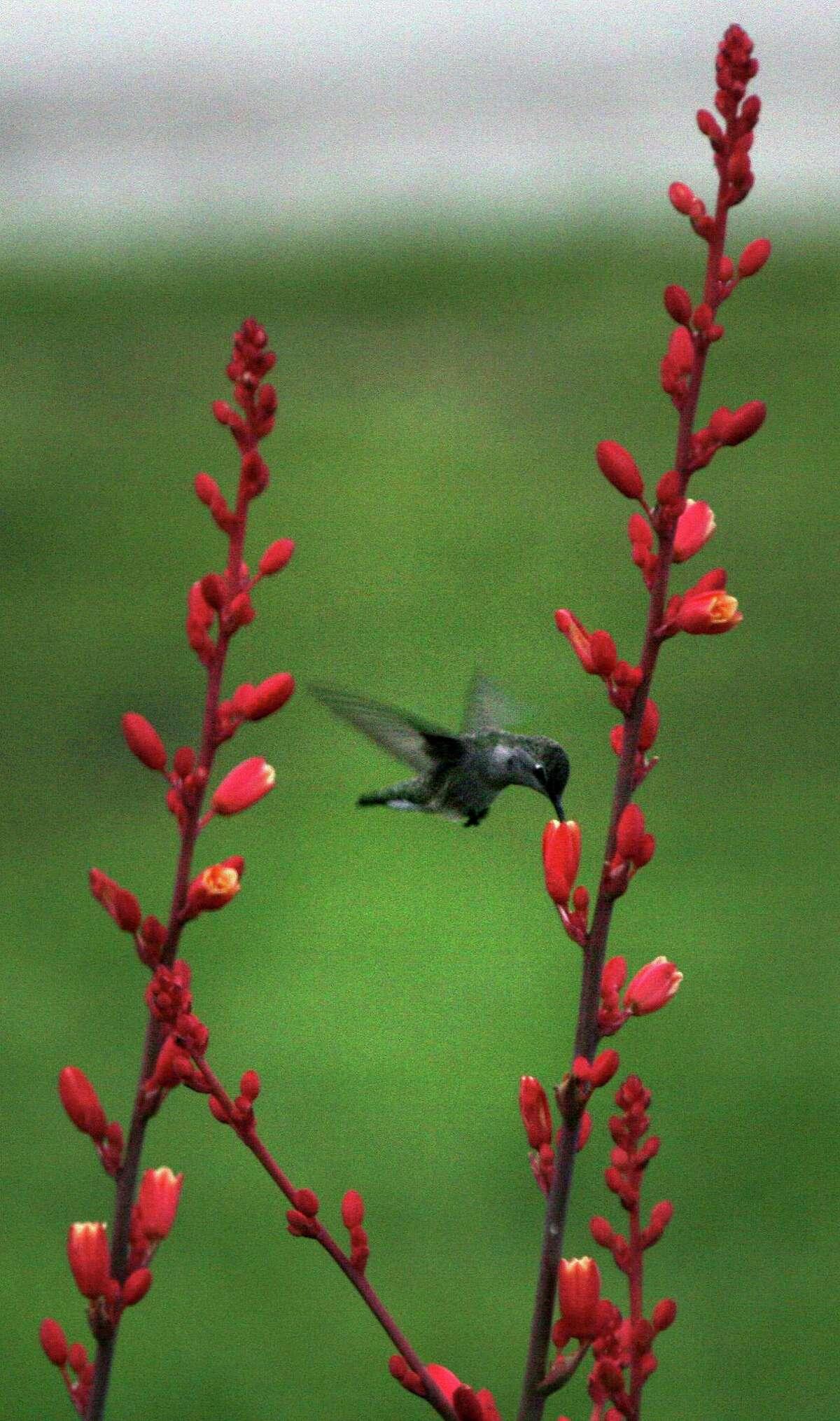 Black-chinned hummingbird feeding on red yucca