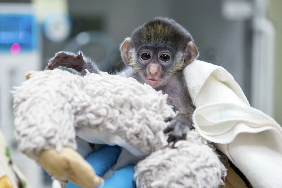 Houston Zoo welcomed a baby red-tailed monkey named 'Peter Rabbit' on April 10, 2020. Photo: Stephanie Adams/Houston Zoo