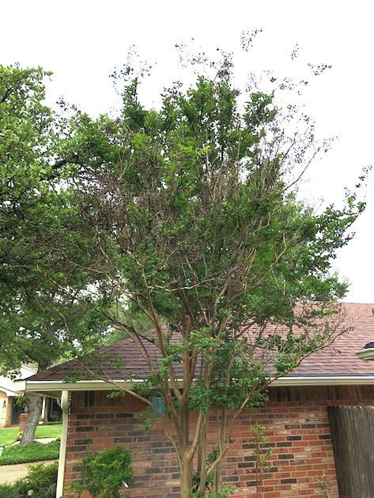 These crape myrtles have a good bit of new growth, but the tips of those same branches have 15 to 18 inches of dead ends from freeze damage. They should be pruned off.