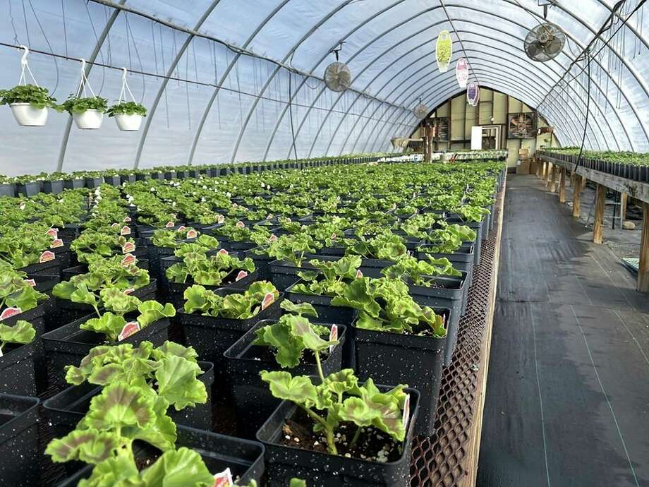 With narrow aisles in their greenhouse, Shore Nursery will be puttingarrows on the floor to direct customers during their shopping experience. They also are asking customers keep social distancing guidelines in mind while shopping. (Courtesy photo)