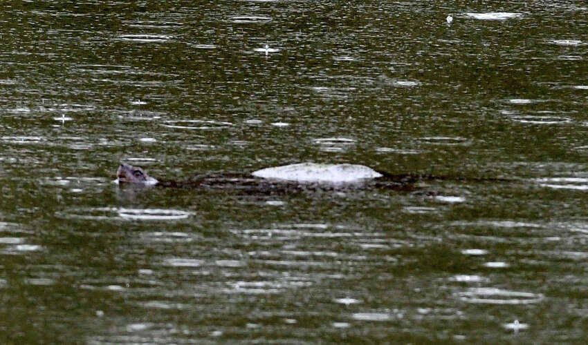 A large turtle is seen in Steinmetz Park pond on Monday, April 27, 2020, in Schenectady, N.Y. There have been reports of a possible alligator sighting in the Goose Hill neighborhood park. New York State Department of Environmental Protection officers searched the pond and found a large snapping turtle, but no signs of an alligator. (Will Waldron/Times Union)