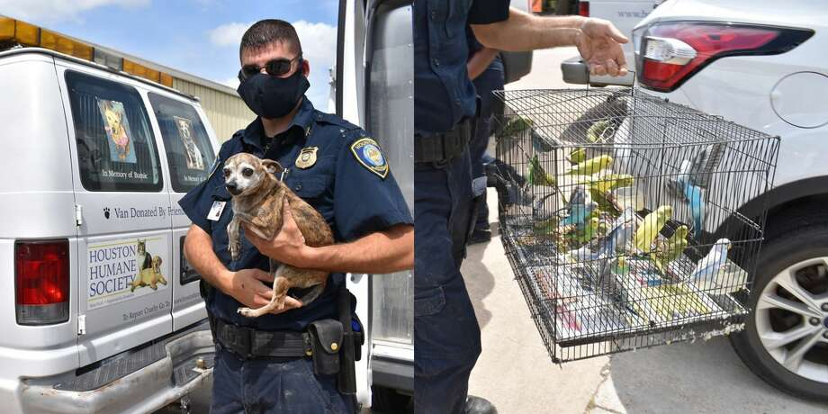 Officers rescued 95 animals including 15 potbelly pigs, 75 parakeets, two guinea pigs and three Chihuahuas. Photo: Houston Humane Society
